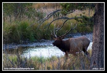 Approaching_Bull_Elk
