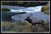Bull_At_The_River