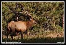 Bull_Elk_At_Noon