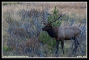 Bull_Elk_At_Sunset