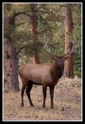 Bull_In_Pines