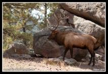 Bull_In_Rocks