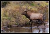 Bull_In_The_Creek