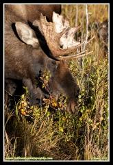 Bull_Moose_Grazing