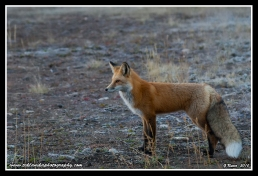 Fox_In_The_Flats