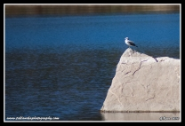 Gull_On_Rock