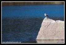 Gull_On_Rock