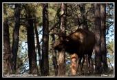 Hidden_Bull