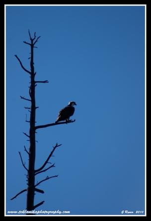 Last_Osprey