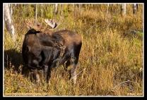 Little_Bull_Moose