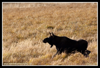 Moose_In_Grass