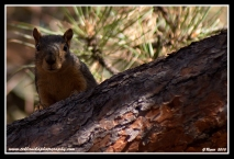 Peeking_Squirrel