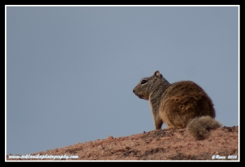 Rock_Squirrel