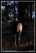 Sunrise_Bull
