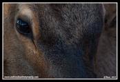 Elk_Face