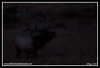 Elk_Shadow