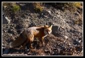 Fearful_Fox