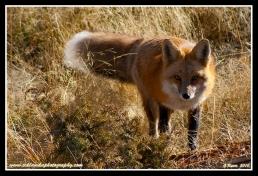 Fox_Stalk