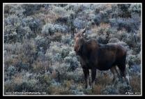 Frosty_Cow_Moose