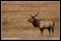 Meadow_Bull