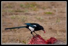 Scavenging_Magpie