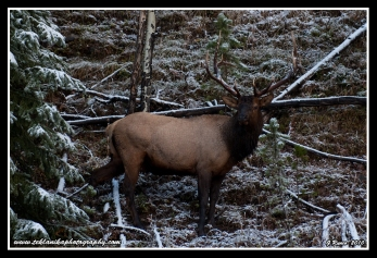 Snow_Bull