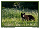 Bear_In_Grass