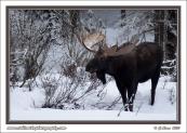 Big_Bull_Moose