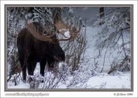 Big_Bull_Moose_In_Snow