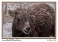 Bighorn_Lamb