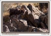 Bighorn_Ram