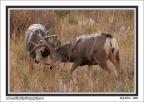 Buck_Fight
