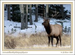 Bull_In_Snow