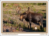 Bull_Moose_In_Beetle_Killed_Forest