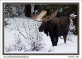 Bull_Moose_In_Snow