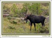 Bull_Moose_Smile