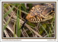 Bullsnake_Tongue
