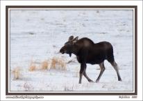 Calf_Moose_In_Snow