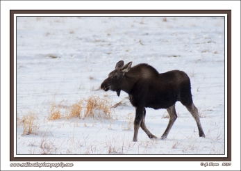Calf_Moose_In_Snow
