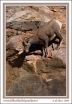 Climbing_Sheep