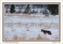 Coyote_In_Snow