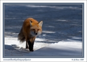 Fox_Crossing