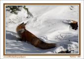 Fox_In_Shadows