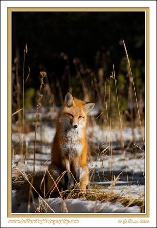 Fox_On_A_Log