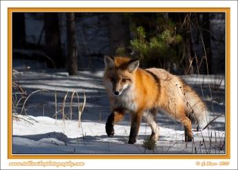 Fox_Steps