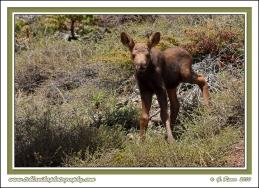 Little_Moose
