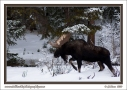 Marching_Moose