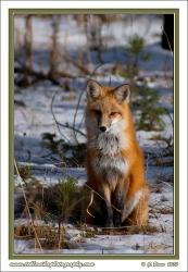 October_Fox