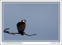 Osprey_With_Catch