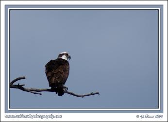 Osprey_With_Catch